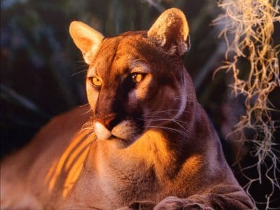 Free Florida panther, wildlife big cats computer desktop wallpapers, pictures, images